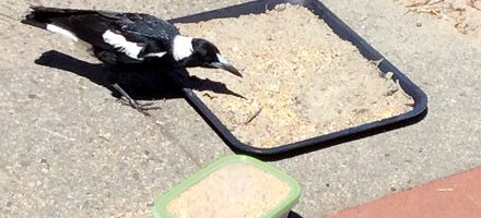 Magpie eating from tray