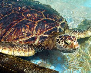 Green sea turtle showing hexagon shapes on shell