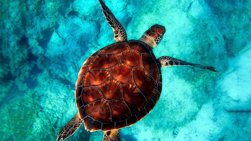 Sea turtle swimming in ocean