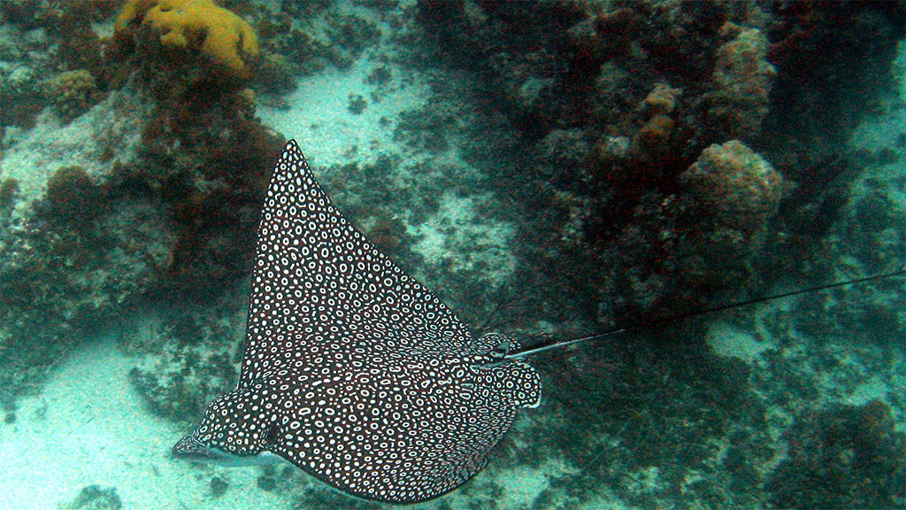 Spotted eagle ray swimming along ocean floor