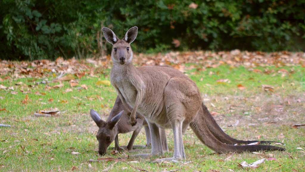 2 kangaroos