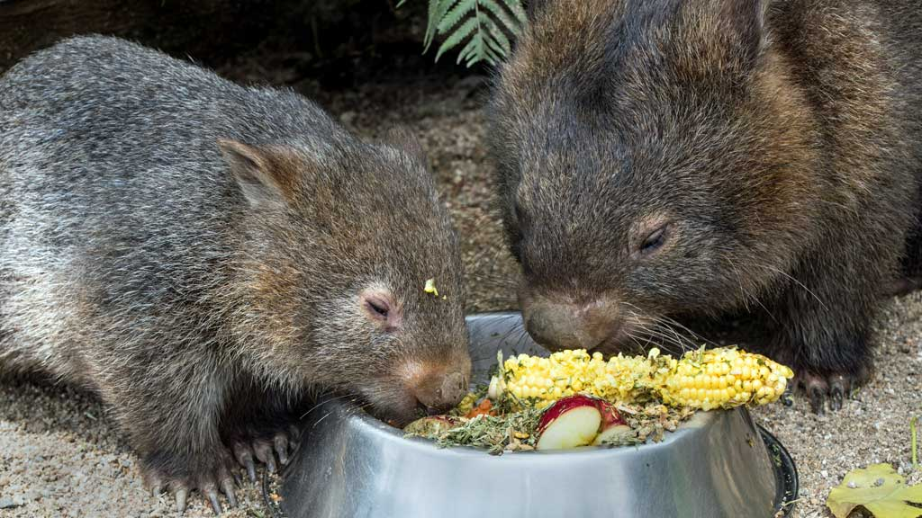 Two wombats eating